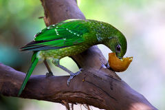 Green catbird eating fruit Royalty Free Stock Image