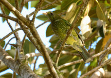 Green Catbird in a wild fig tree. Wild Green Catbird in a wild fig tree in a rainforest in Queensland, Australia Royalty Free Stock Photos