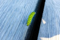 Green Caterpilar with black dots on wooden plank. stock images