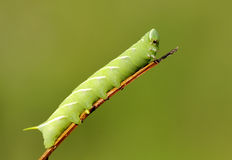 Green caterpillar Stock Photos