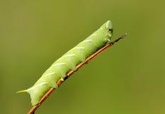 Green caterpillar Stock Photos