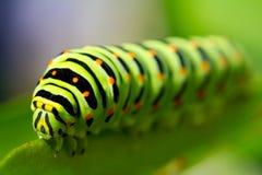 Green Caterpillar Stock Images