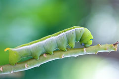 Green caterpillar. Royalty Free Stock Image
