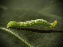 Green caterpillar Royalty Free Stock Image