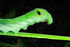 Green caterpillar Royalty Free Stock Images