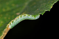 Green Caterpillar. A green caterpillar eating leaf stock image