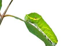 Green caterpillar 3 Stock Image