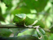 Green Caterpillar. Camouflaged caterpillar Stock Photos