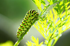 Green caterpillar Royalty Free Stock Image