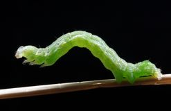 Green caterpillar. The green caterpillar sits on a stalk on a black background Stock Images