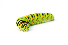 Green caterpillar Stock Image