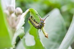 Green caterpillar Royalty Free Stock Photos