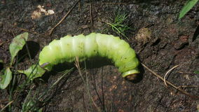 Green Caterpillar. On the bark of a tree Stock Image