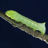 Green caterpillar on a branch Royalty Free Stock Photography