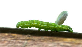 Green Caterpillar Carries Wasp Cocoon Burden Stock Images