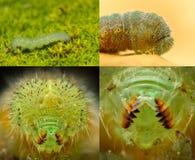 Green caterpillar closeup, high magnification Stock Photos