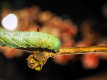 A green caterpillar creeps along a fresh sprout of a tree Stock Images