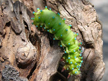 The green caterpillar creeps on a tree Royalty Free Stock Image