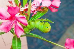 Green Caterpillar [Daphnis nerii] on Sweet Oleander [Nerium oleander] Stock Photos