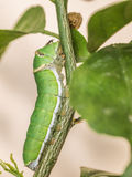 Green caterpillar eating green leaf Royalty Free Stock Photography