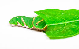 Green Caterpillar Eating Leaf Royalty Free Stock Photography