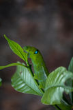 Green caterpillar eating leaf. Royalty Free Stock Photography