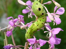 Green caterpillar on flowers Stock Images