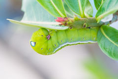 Green Caterpillar on green leaf Royalty Free Stock Photography