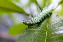 Green caterpillar with horns on a tropical leaf royalty free stock photos