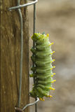 Green Caterpillar, Hyalophora cecropia royalty free stock photos