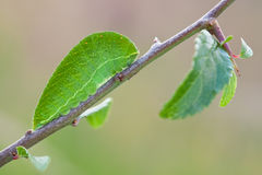 Free Green Caterpillar Iphiclides Podalirius In Nature Stock Photos - 58772623