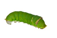 Green caterpillar. Isolated on white background Royalty Free Stock Photos