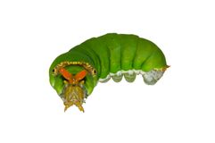 Green caterpillar isolated Royalty Free Stock Images