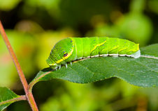 Green caterpillar on leaf 10 Royalty Free Stock Image