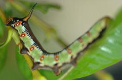 Green caterpillar on leaf. Medium close up of colorful caterpillar on leaf Stock Photography
