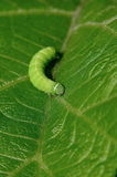 Green Caterpillar Royalty Free Stock Images