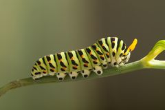 Green caterpillar machaon on dill royalty free stock photography