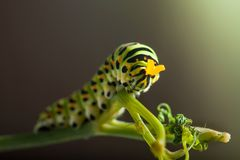 Green caterpillar machaon. On dill Royalty Free Stock Image