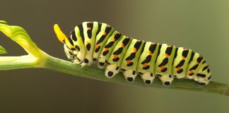 Green caterpillar machaon on dill.  royalty free stock images
