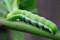 Green Caterpillar. Macro of green caterpillar on a branch Royalty Free Stock Photo