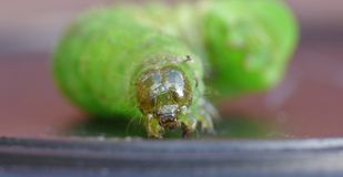 Green Caterpillar - Macro Photography - UK stock image