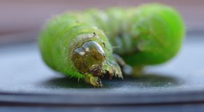 Green Caterpillar - Macro Photography - UK stock photography