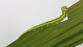 Green caterpillar of moth eating host plant stock video footage