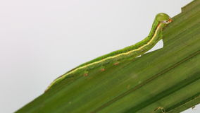 Green caterpillar of moth eating host plant stock video
