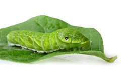 Green caterpillar (Papilio dehaanii) on a leaf Stock Images