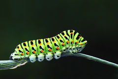 Green caterpillar - papilio machaon Royalty Free Stock Photo