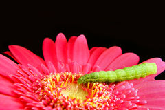 Green Caterpillar on a Pink Flower Stock Photos