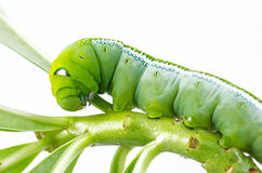 Green caterpillar on plant. Green caterpillar named Daphnis nerii on white background Stock Photography
