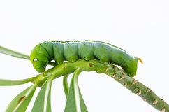 Green caterpillar on plant. Green caterpillar named Daphnis nerii on white background Royalty Free Stock Photography