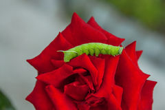 Green caterpillar of the poplar hawk moth on a flower a red rose Royalty Free Stock Photography